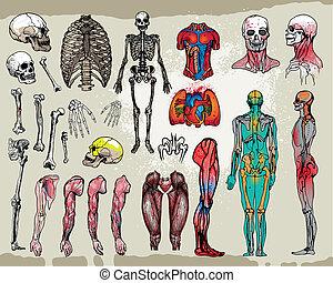 huesos, órganos