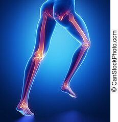 huesos, anatomía, enfocado, pierna