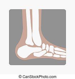 huesos del pie, coyuntura