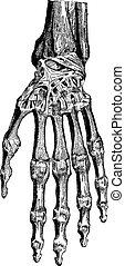 huesos, ellos, illustration., diccionario, 1885., coyuntura...