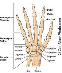 huesos, mano humana