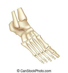 huesos, pie, blanco, vector, aislado
