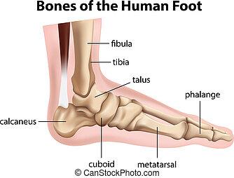huesos, pie, humano