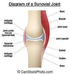 huesos, synovial, cápsula, gráfico, coyuntura