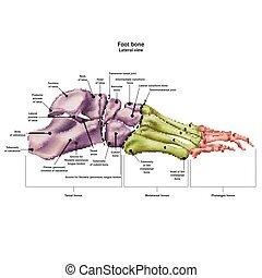 huesos, todos, anatomy., nombre, lateral, aislado,...