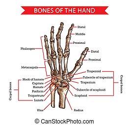 huesos, vector, bosquejo, mano, anatomía humana, muñeca