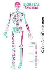 huesudo, poster., illustration., system., sistema esquelético, anatomía, didactic, vector, tabla, humano