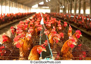 huevos, pollos, en, el, local, granja
