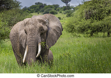 Huge African elephant bull in the Tarangire National Park,...