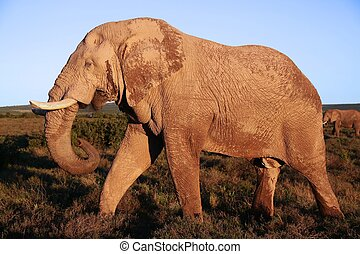 Huge African Elephant Male