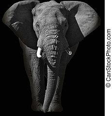 Huge African elephant portrait