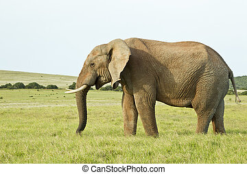Huge african elephant standing in thick grass