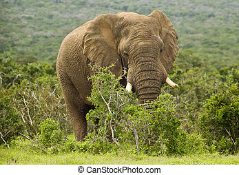 Huge African elephant