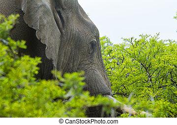 Huge African elephant walking through thick bush