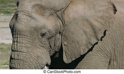 huge african elephant with long tus