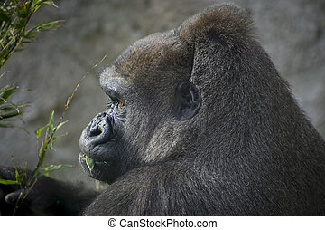 huge and powerful gorilla, natural environment