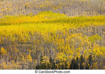 Huge Aspen Forest in Fall