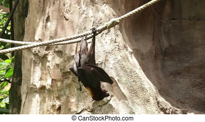 Huge Bat Golden-Crowned Flying Fox - Acerodon jubatus, also...