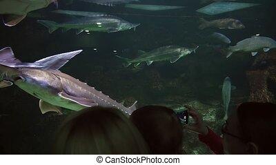Huge beautiful sturgeon in freshwater aquarium stock footage...