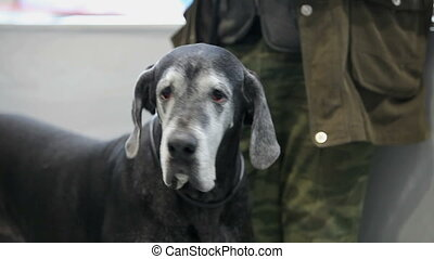 Great Dane - Huge black Great Dane looking at camera,...