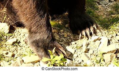 Huge brown bear paws closeup