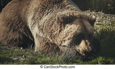 Huge brown bear Ursus arctos lying on the grass - Huge brown...