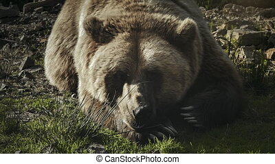 Huge brown bear (Ursus arctos) lying on the grass