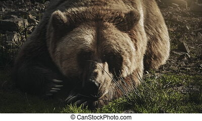 Huge brown bear (Ursus arctos) lying on the grass in the...