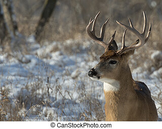 A huge buck in a snow covered field