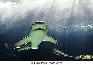 huge bull shark swimming