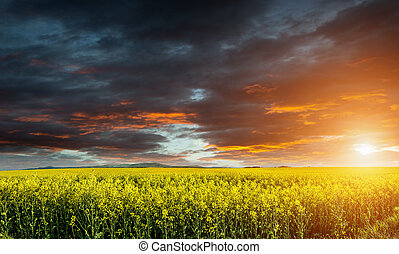Huge canola, colza, rape field before storm with beautiful clouds