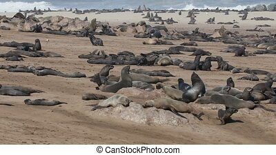 large colony of brown seal in Cape Cross, Namibia, Africa wildlife