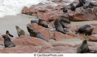 huge colony of Brown fur seal - sea lions, Namibia, Africa wildlife