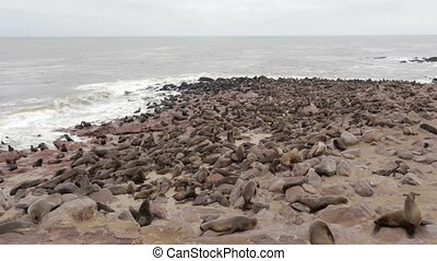 huge colony of Brown fur seal, Arctocephalus pusillus, in...