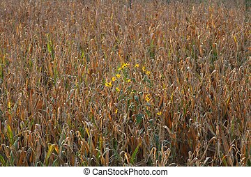 corn field with yellow flowers