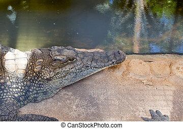 Huge crocodile basking in the sun
