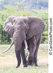 Huge elephant bull walking in the hot sun away from water