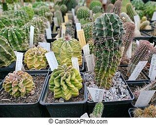 Huge Exotic Cactus - Succulent Pot Plant
