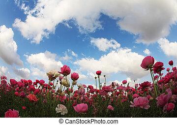 Huge field blossoming  pink  buttercups