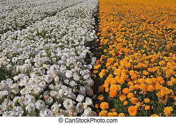 Huge field of  buttercups