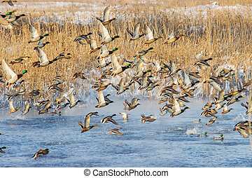 huge flock of ducks take off from the river