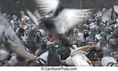 Huge Flock of Pigeons Eating Bread and Take off on the City...