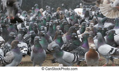 Huge Flock of Pigeons Eating Bread and Take off on the City Street. Slow Motion