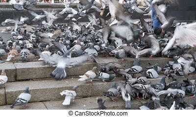 Huge Flock of Pigeons Eating Bread Outdoors in the City Park. Slow Motion