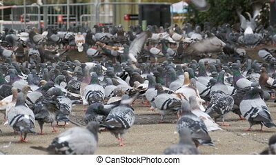 Huge Flock of Pigeons Eating Bread Outdoors in the City...