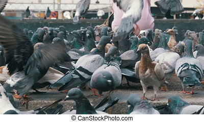 Huge Flock of Pigeons in the City Park. Lot of pigeons eat...