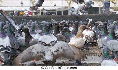 Huge Flock of Pigeons in the City Park. Close up. Lot of...