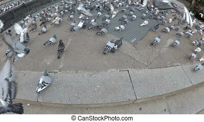 Huge Flock of Pigeons in the City Street. The camera is...