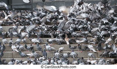 Huge Flock of Pigeons on the Steps at the City Street Eat Food in Slow Motion