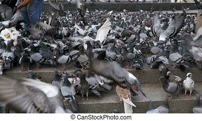 Huge Flock of Pigeons Take off on the City Street. Slow...